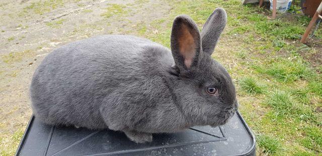 króliki wiedeńskie niebieskie wiedeński WN wiedeńska królik króliki