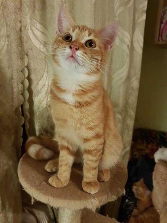 Рыжий котёнок, ласковая кошечка рыжего окраса, 3,5 месяцев