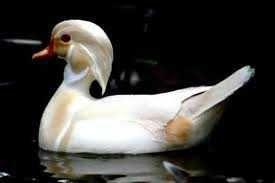 patos exoticos ,perdizes da Califórnia , pavões azul novos
