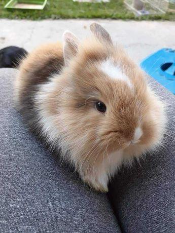 KIT completo coelhos anões teddy, minitoy e mini holandês