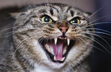 Фелинолог ( кошачий зоопсихолог)