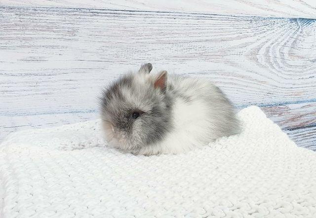 Piękny króliczek Karzełek Teddy