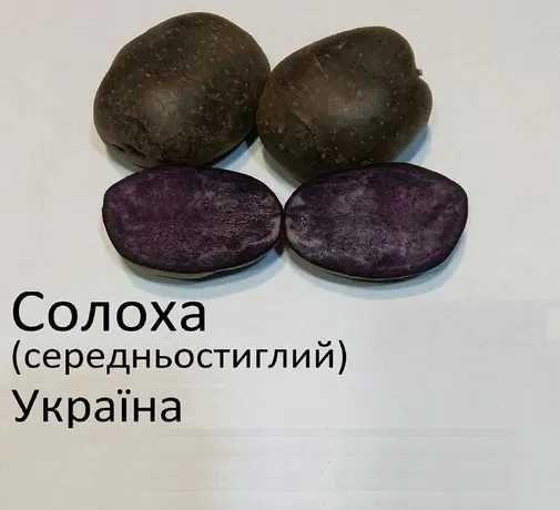 продам картоплю сорт солоха