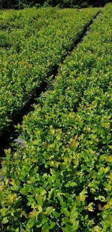 Borówka Amerykańska 2,5 letnia najlepsze odmiany