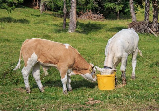 Byczki mięsne przytoczno