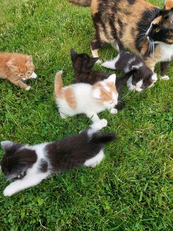 Oddam zadarmo piękne kociaki...