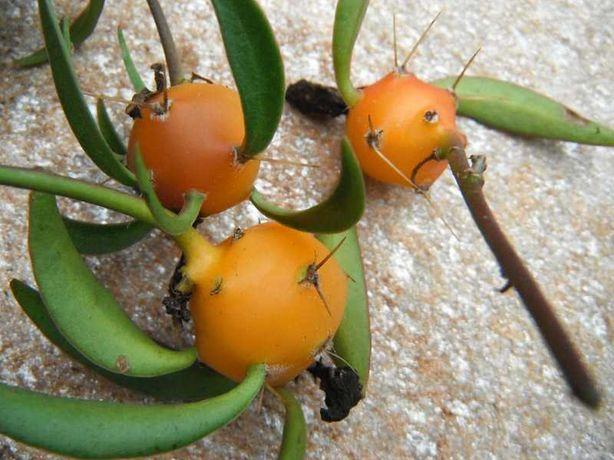 planta, comestível, fruta, cato, exótica,  Pereskia aculeata