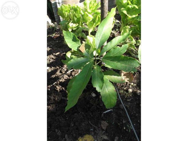 Planta Abacate biológico