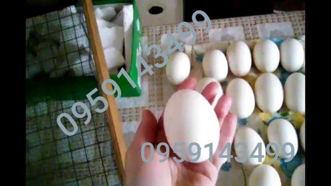 Яйца гусиные инкубационные инкубатор яйця гусячі інкубаційні