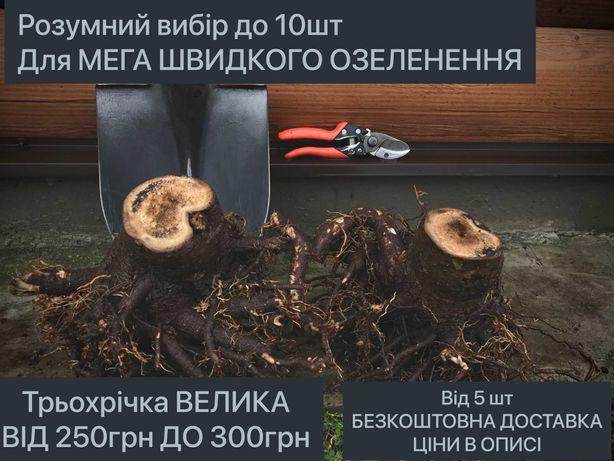 Павловния КОРНИ, От 10шт. БЕЗКОШ.ДОСТАВКА, Одно-Двух-Трехлетние,ОПТ