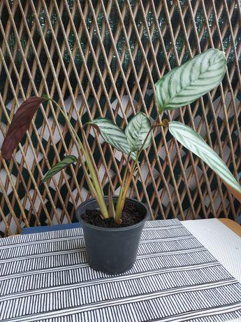 CTENANTHE OPPENHEIMIANA Da família das Marantaceae