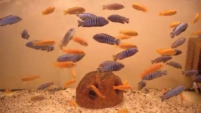 Pyszczak Pseudotropheus saulosi coral Bydgoszcz