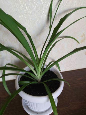 Хлорофитум.Комнатные растения