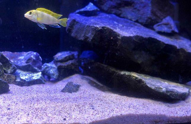 Młode Pyszczaki Malawi Labidochromis Perlmutt ryby akwarium