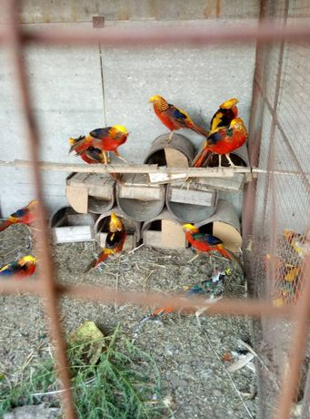 Золотые фазаны окрашеные