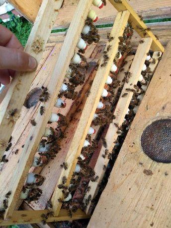 Бджолині матки КарнікаТройзек Продам. Порода с именем!