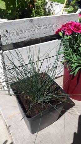 Niebieska trawa kostrzewa sina sadzonka