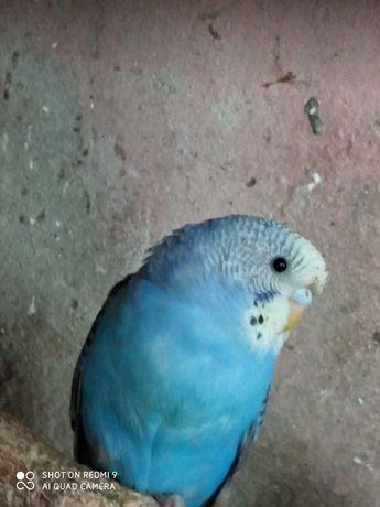 periquitos azuis  bem tratados