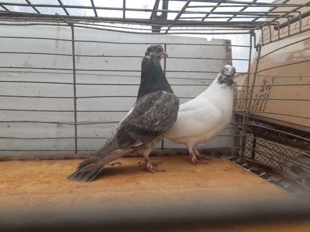Winer winery szek szeki ptaki gołębie ozdobne