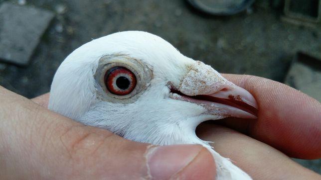 Białe gołębie pocztowe na oczach Glazer Wysyłka