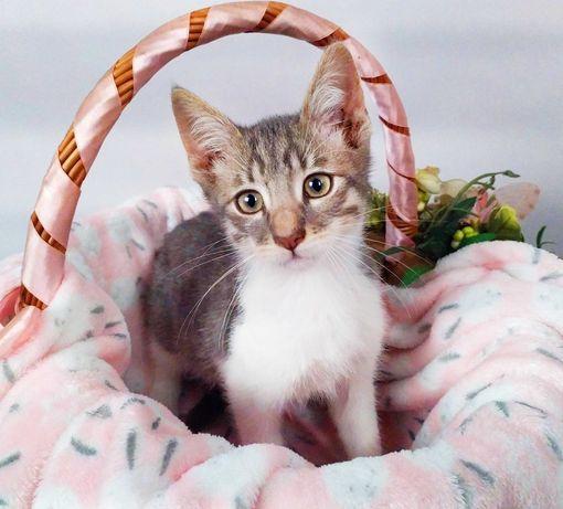 Плямисте пухнасте кошеня хлопчик Джері (2,5міс).  кіт киця шукає дім