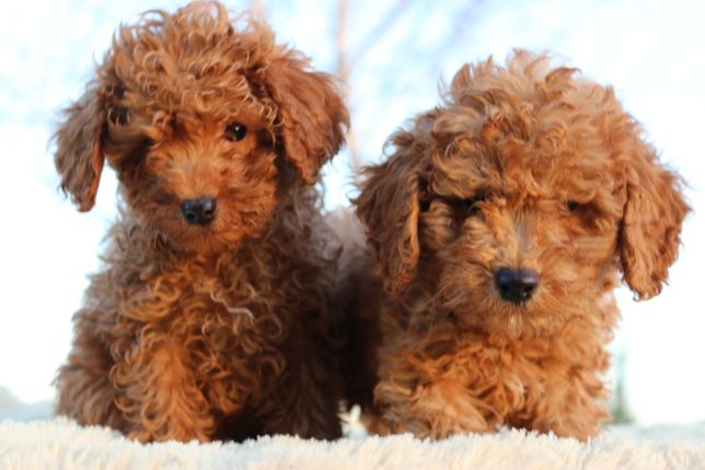 Poodle Toy Puppy Sale