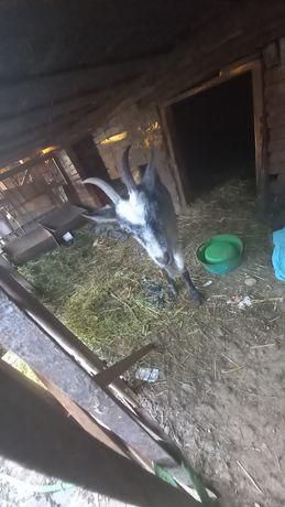 Продаються кози. Велика і мала