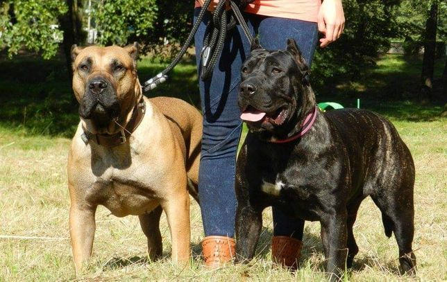 Domowa hodowla Dogo Canario, Dog Kanaryjski, Presa Canario ZKwP FCI