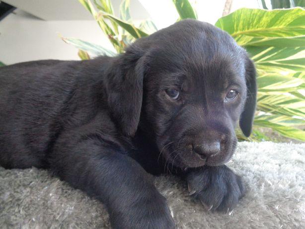 Labrador preto c/Lop e Afixo