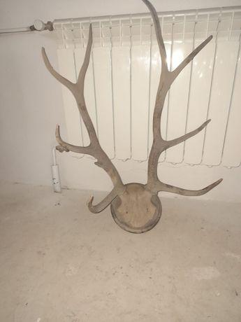 Wieniec, poroże jelenia