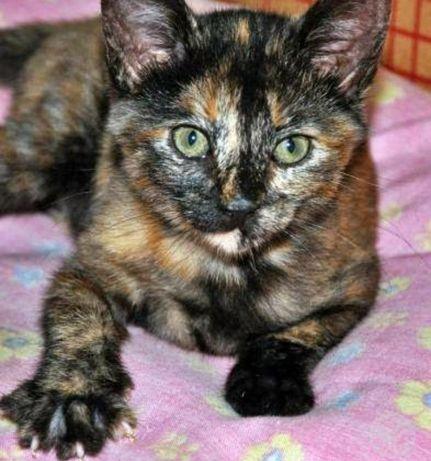 Gatinha Tartaruga bebé disponível para adoção