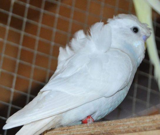 Попугаи домашнего разведения волнистые птенчики