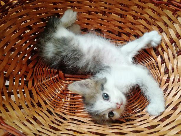 2-е котят братиков ищут любящую семью. Котёнок