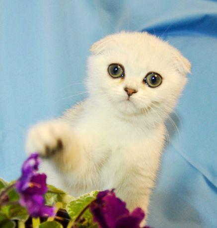 шотландське кошеня Дівчинка Не британська 2 міс. шотландське висловухе