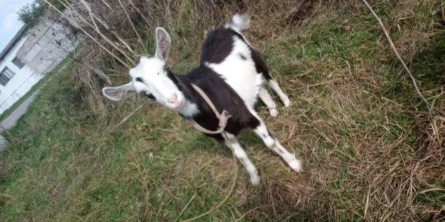 Продам козла та козу