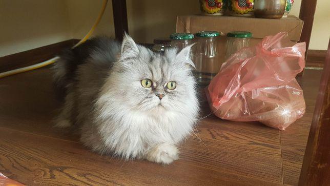 Кот породы Персидская Шиншила