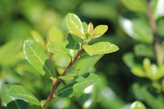 Ostrokrzew karbowanolistny 'Green Lustre' w doniczce