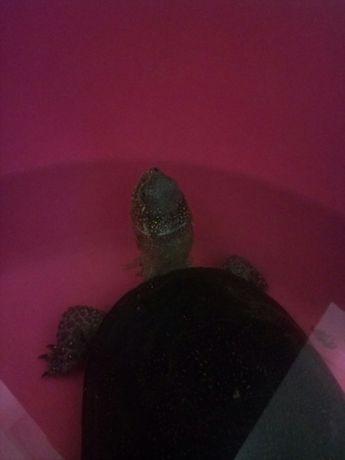 Продам речную черепаху