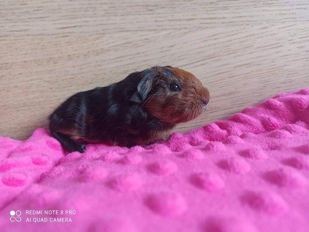 świnka morska świnki morskie cavia domowa