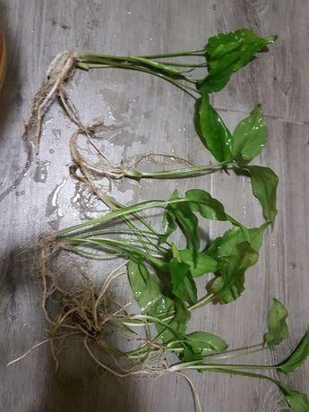 Roślina do akwarium