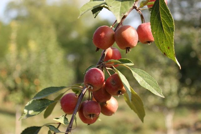 Черенки фруктовых деревьев