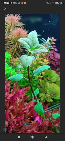 Roślina Acmella Repens