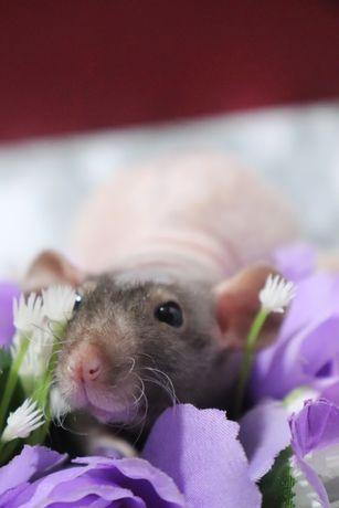Крыса (крысенок) Фазз (Сфинкс) дамбо #3