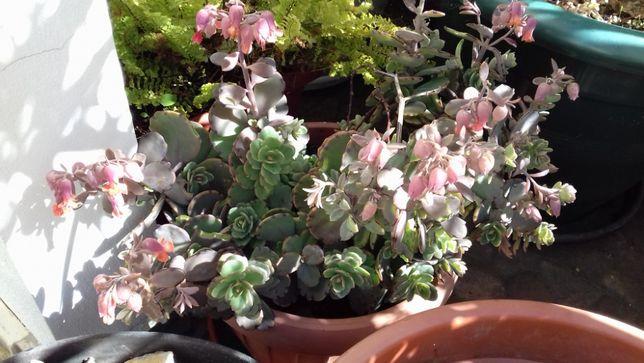 Planta suculenta, Kalanchoe Fedtschenkoi (calanchoê-fantasma)