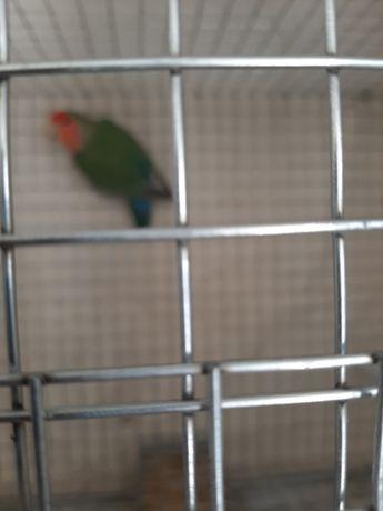 Agapornis verde cabeça vermelha