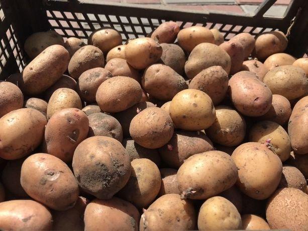 Посадкова картопля - 8 грн/кг