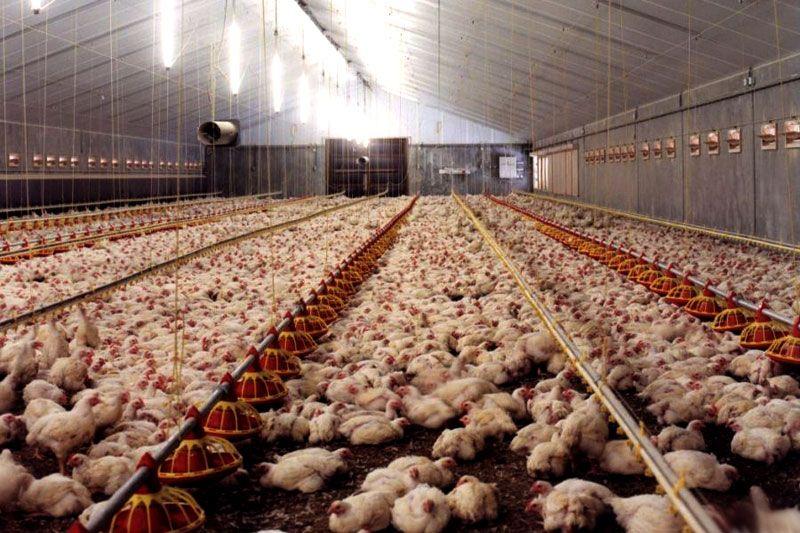 Інкубаційне яйце РОСС 708 (імпорт з Польщі) Кривой Рог - изображение 1