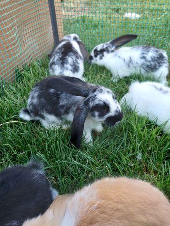 Młode króliki , króle do dalszego chowu.