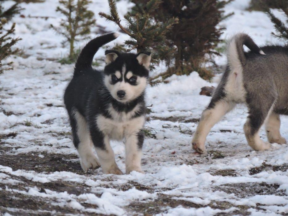 Piesek Różnooki Syberian Husky szczeniak Kalisz - image 1