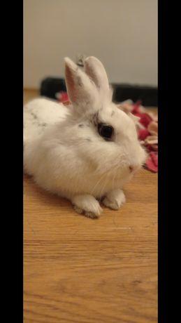 Oddam królika (samiczka)